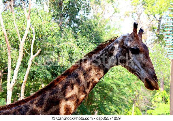giraffes  - csp35574059
