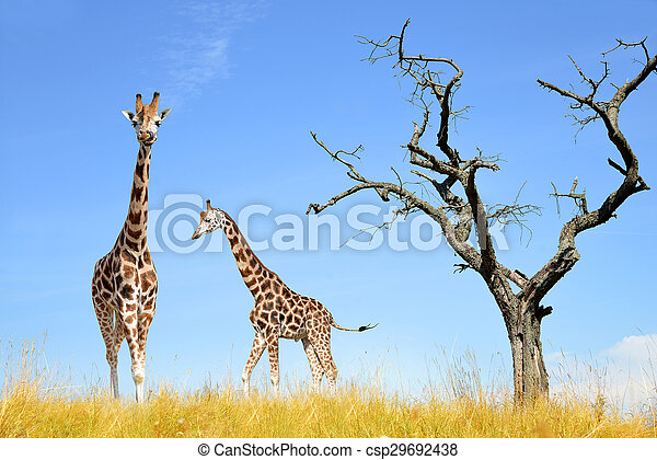 giraffes  - csp29692438