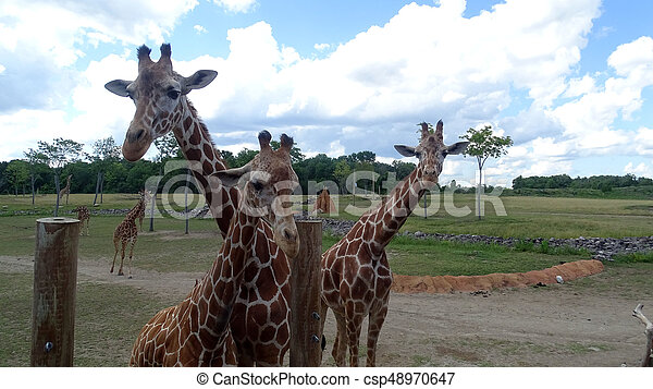 Giraffes with blue sky backgroud. - csp48970647