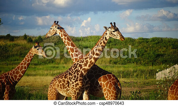 Giraffes with blue sky background. - csp48970643
