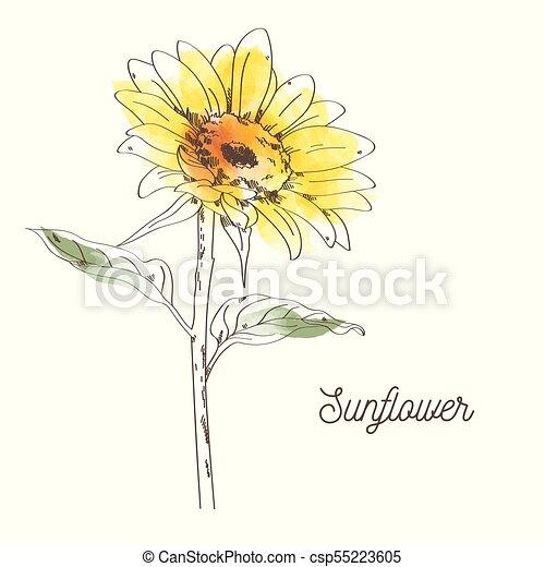 Girassol Amarela Desenho Ilustracao Fundo Branca