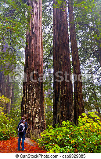 Girt looking at two giant Redwoods - csp9329385