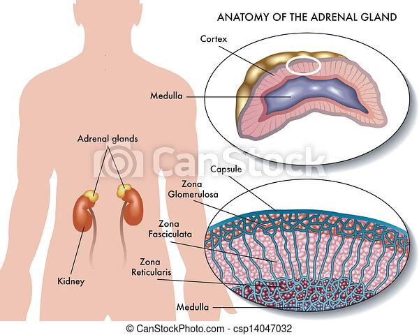 Glándula, suprarrenal. Anatomía, glándula, médico, suprarrenal ...