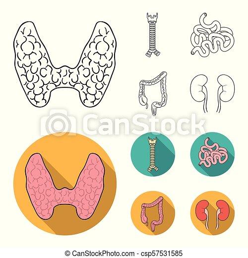 glândula, human, estilo, símbolo, espinha, jogo, intestino, vetorial, apartamento, órgãos, pequeno, estoque, web., intestine., grande, esboço, ícones, ilustração, cobrança, tiróide - csp57531585