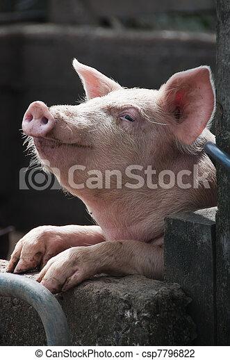 Glückliches Schwein - csp7796822