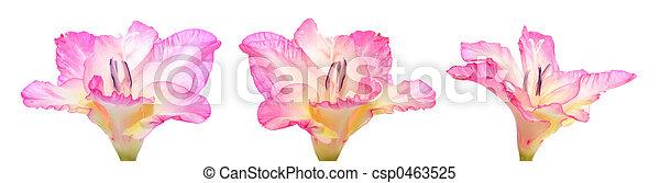 Gladiola - csp0463525