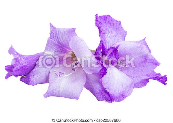 Blue gladiolus flowers isolated on white background gladiolus flowers csp22587686 mightylinksfo