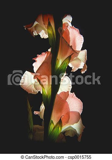 gladiolus - csp0015755