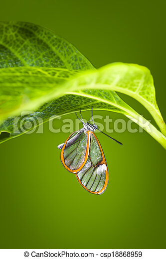 Glasswinged Butterfly Glasswinged Butterfly Resting On A Large