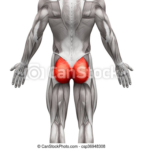 Gluteal Muscles Gluteus Maximus Anatomy Muscles Isolated On