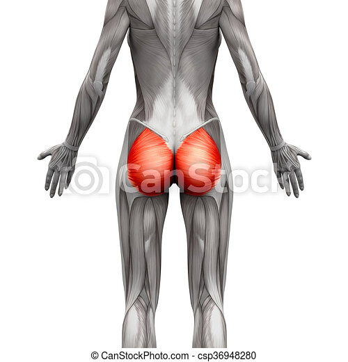 Gluteal muscles / gluteus maximus - anatomy muscles isolated on ...