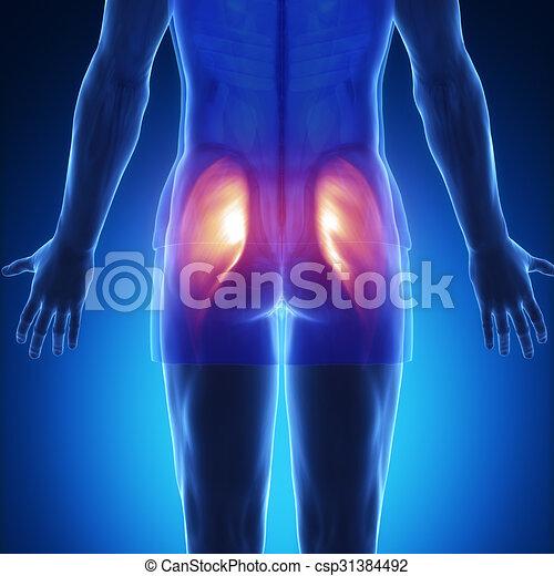 Gluteus maximus - blue muscle anatomy. Gluteus maximus.