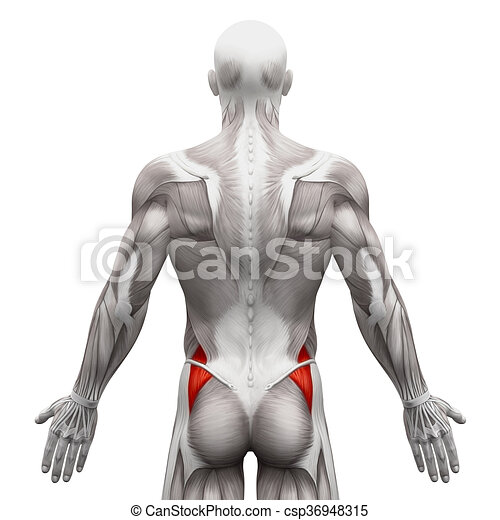 Gluteus medius - anatomy muscles isolated on white - 3d illustration.