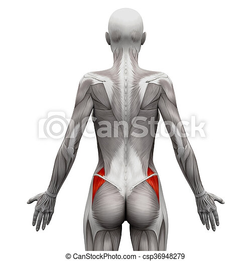 Gluteus medius - anatomy muscles isolated on white - 3d illustration.
