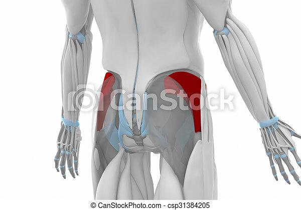 Gluteus Minimus Muscles Anatomy Map