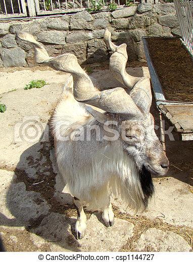 Asian mountain goat