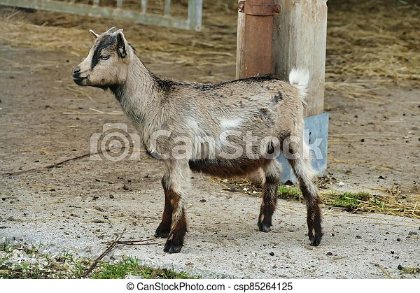 goat on the farm, photo as a background - csp85264125