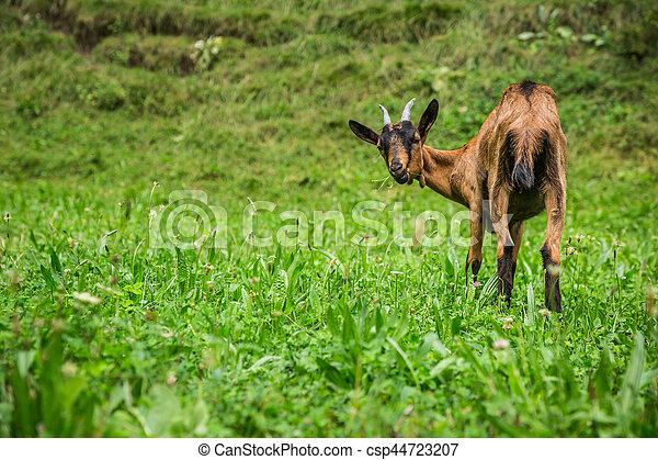 Goat on the green summer meadow - csp44723207
