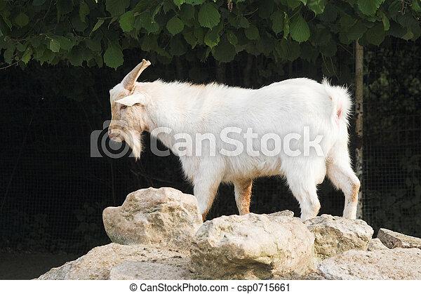 goat - csp0715661