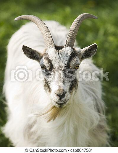 Goat - csp8647581
