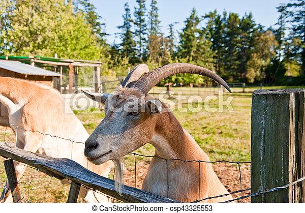 Goat - csp43325553