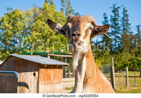 Goat - csp43325554