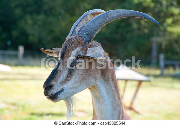 Goat - csp43325544