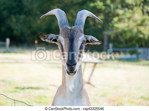 Goat - csp43325546
