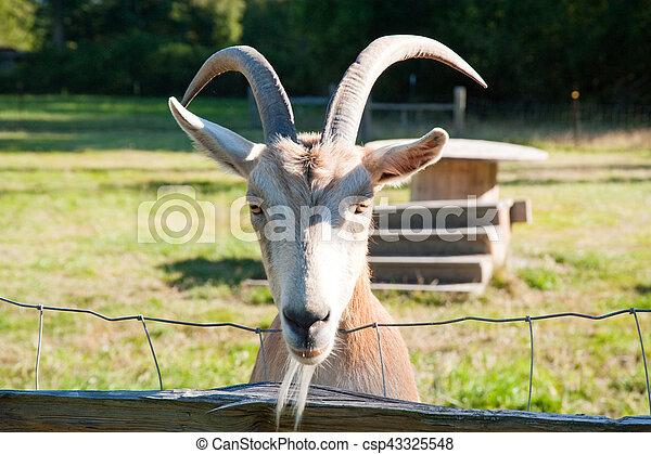 Goat - csp43325548