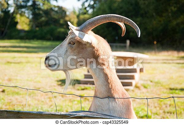 Goat - csp43325549