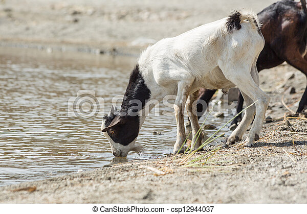 goats drinking water a few goats drinking water from lake koka in