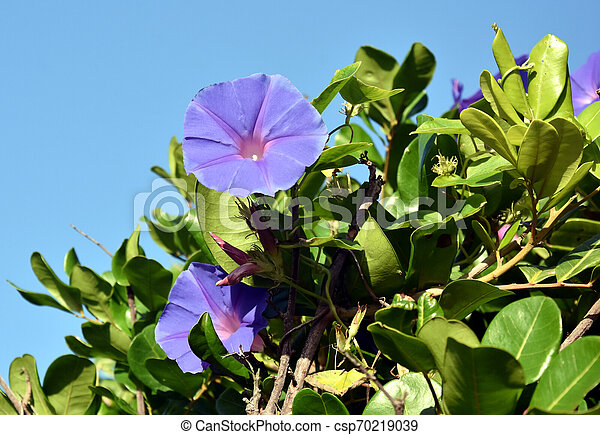 Goat S Foot Creeper Flowers Or Seaside Morning Glory Flowers