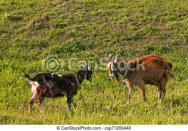 goats graze in the meadow, eat grass on a sunny day - csp71200440