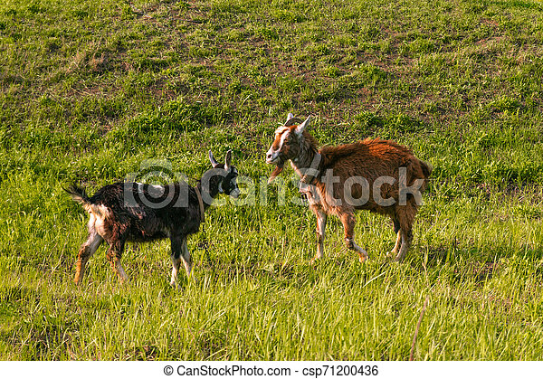 Goats graze in the meadow, eat grass on a sunny day - csp71200436