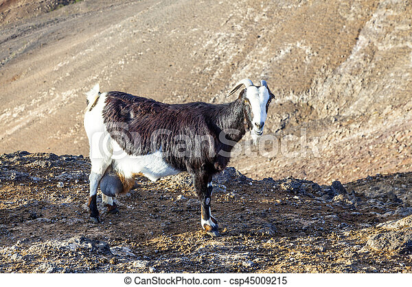 goats in the mountains of lanzarote - csp45009215
