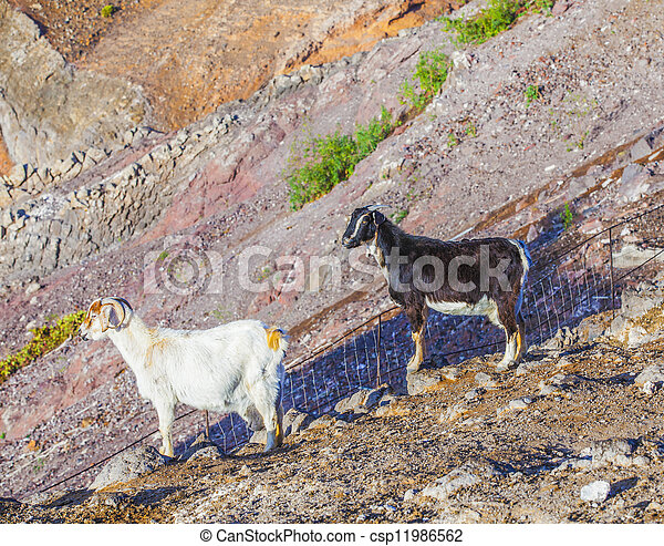 goats in the mountains of lanzarote - csp11986562