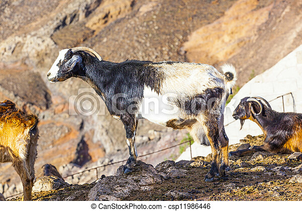 goats in the mountains of lanzarote - csp11986446