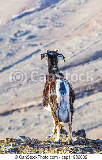 goats in the mountains of lanzarote - csp11986602