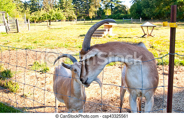 Goats - csp43325561