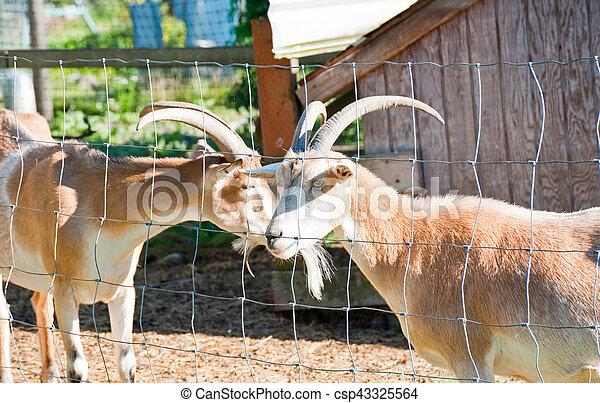 Goats - csp43325564