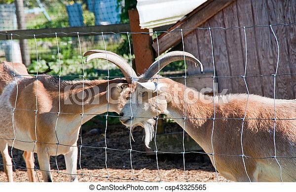 Goats - csp43325565