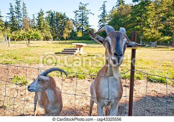 Goats - csp43325556