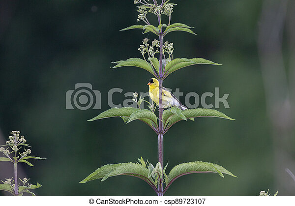 Gold FInch on a Green Plant - csp89723107