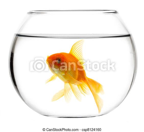 Gold fish in aquarium - csp8124160
