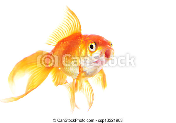 Gold fish isolated on white background - csp13221903