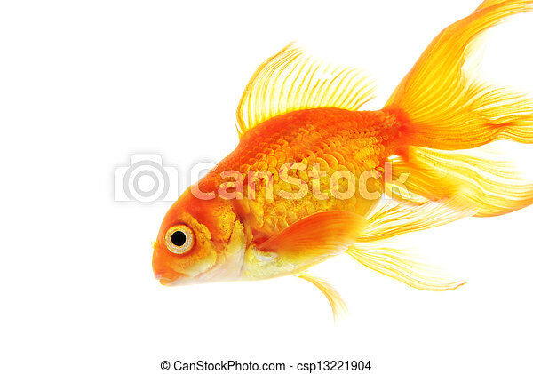 Gold fish isolated on white background - csp13221904