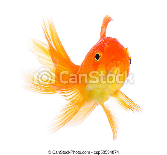 gold fish on white background - csp58534874