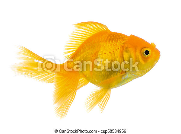 gold fish on white background - csp58534956