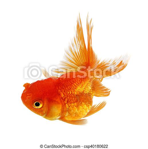 Gold fish on white background - csp40180622