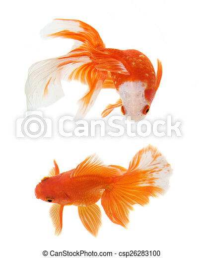 Gold Fish on white background - csp26283100